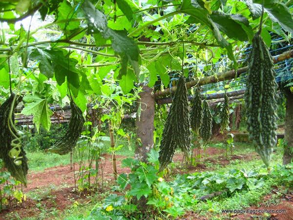 cách trồng mướp đắng tại nhà