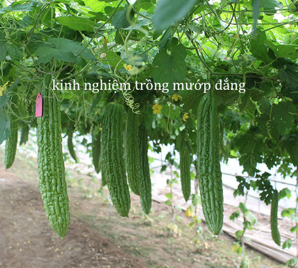 cach trong muop dang